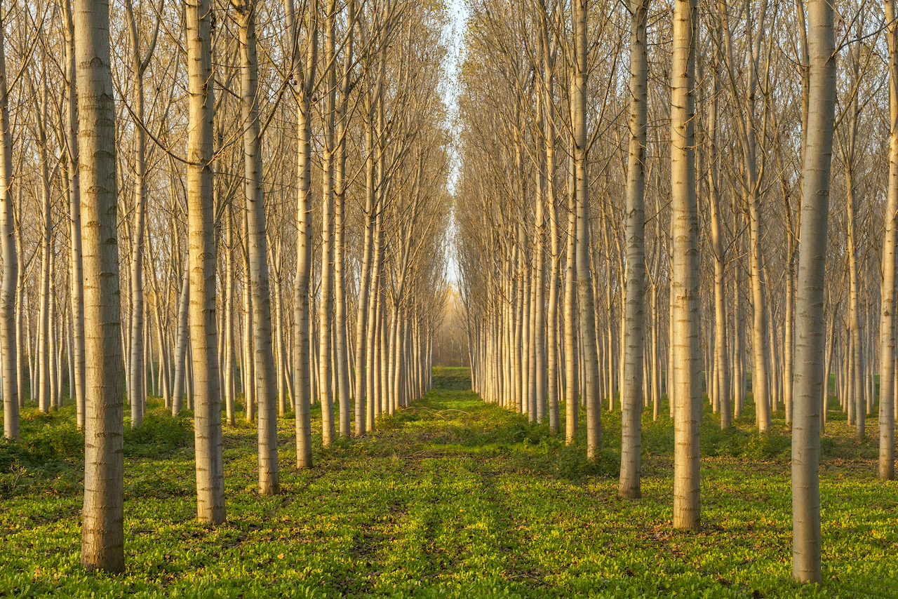 amazing poplars alley in an autumn sunset